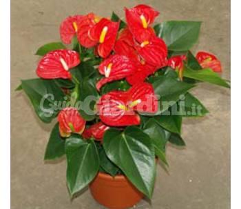 Anthurium andreanum sierra for Anthurium rosso
