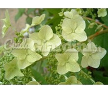 Pianta - Hydrangea Quercifolia 'Tennessee Clone'  Catalogo ~ ' ' ~ project.pro_name
