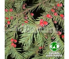 Piante - Taxus Baccata Catalogo ~ ' ' ~ project.pro_name