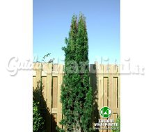 Piante Taxus Baccata 'Fastigiata' Catalogo ~ ' ' ~ project.pro_name